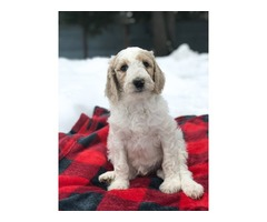 Sandpoint Doodles Puppies Available!